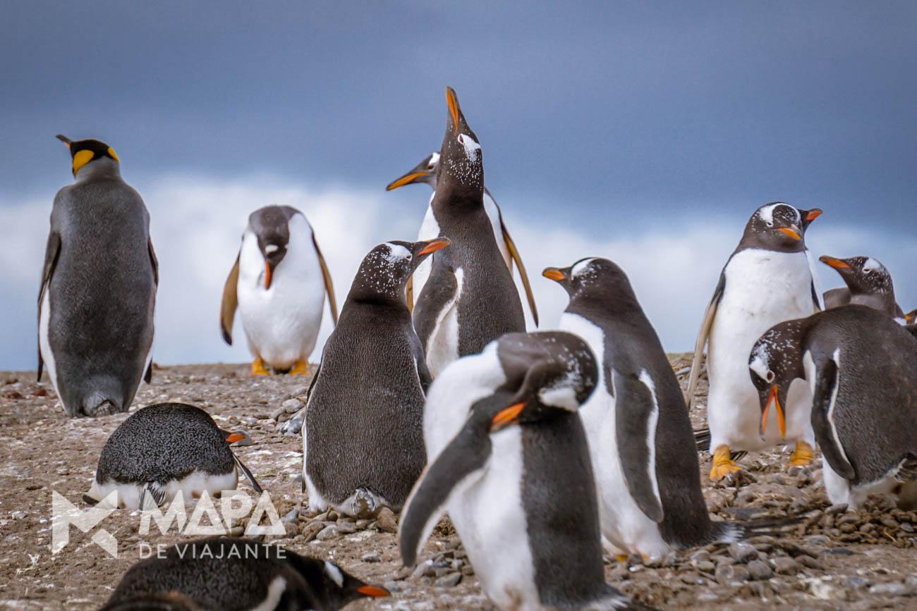 Pinguins Papua e um Pinguim Rei curtem a primavera meridional na Isla Martillo.