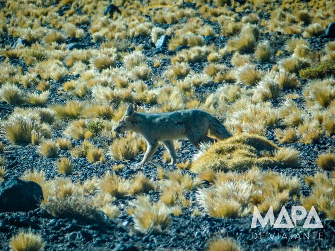 Raposa no deserto