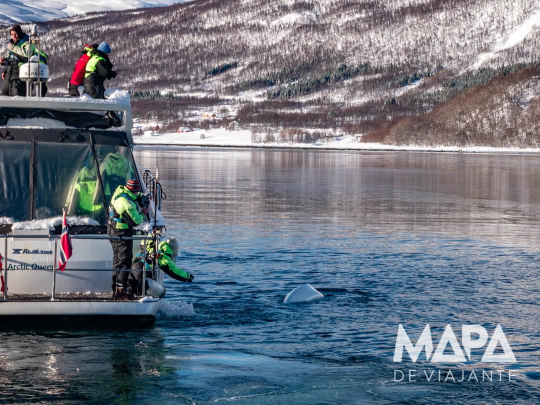 Beluga Vhladimir em Tromso