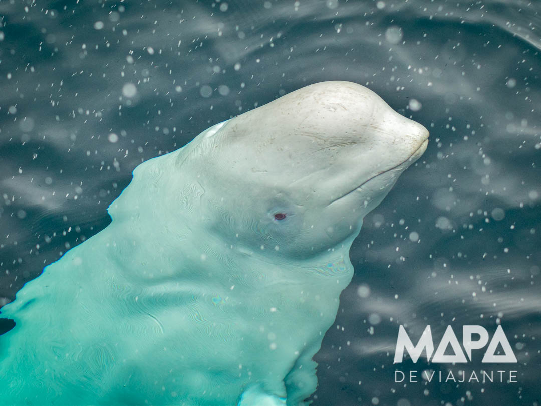 Beluga Vhladimir nos fiordes da Noruega