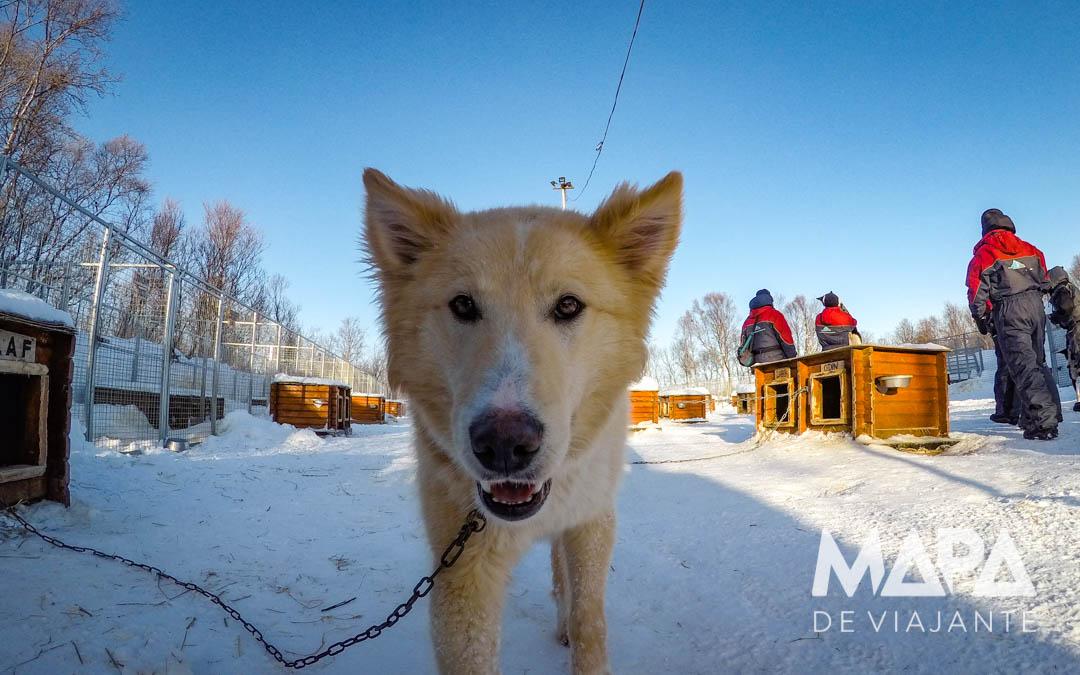 Huskies noruegueses em Tromso