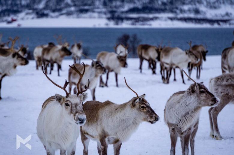Cultura Sami e passeio com renas Tromso Noruega